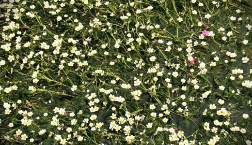 醒ヶ井 地蔵川の梅花藻
