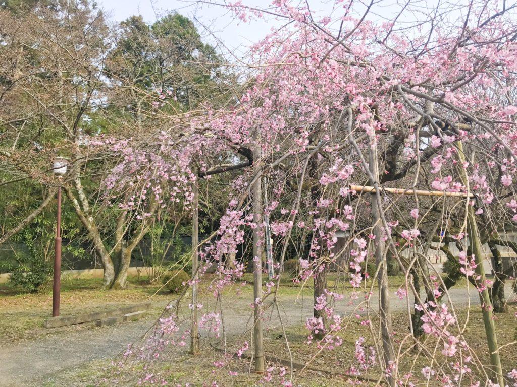 2019.03.28 しだれ桜は開花