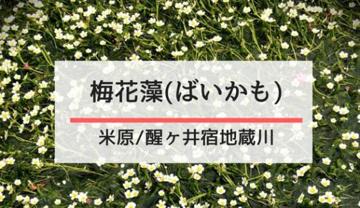 夏が見頃! 醒ヶ井・地蔵川の「梅花藻」で涼を満喫