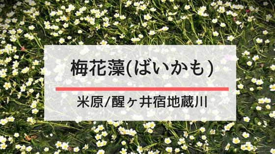 醒井 梅花藻
