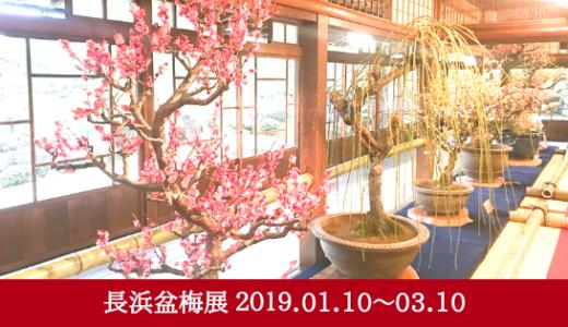 歴史・規模ともに日本一の盆梅展「第68回 長浜盆梅展」
