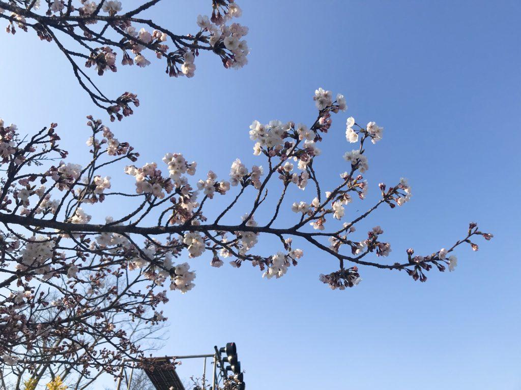 2019.04.04 彦根城の桜