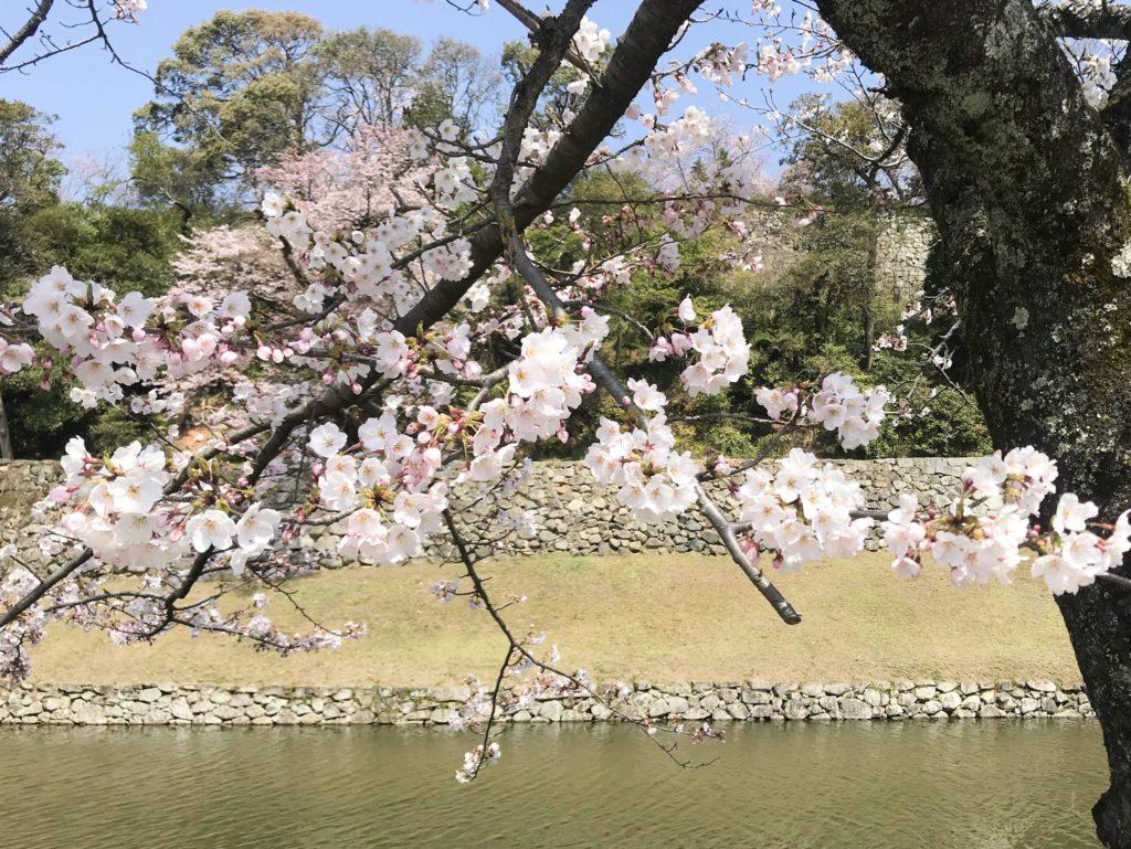 2019.04.06 彦根城の桜