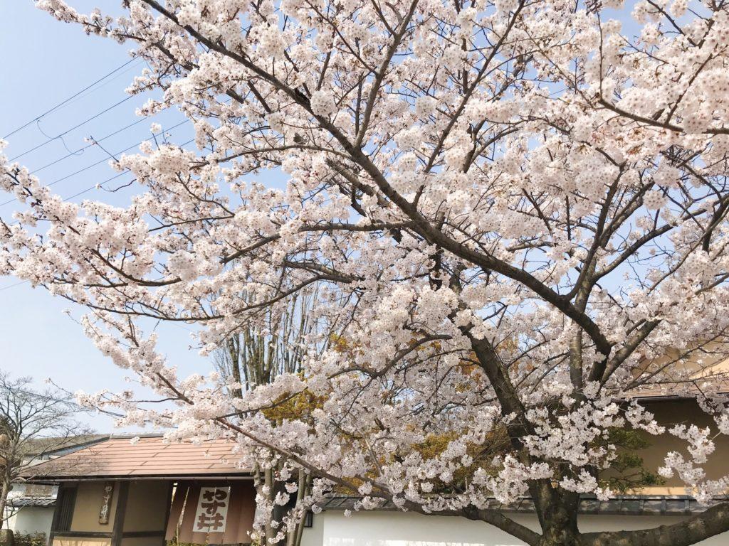 2019.04.07 やす井の桜