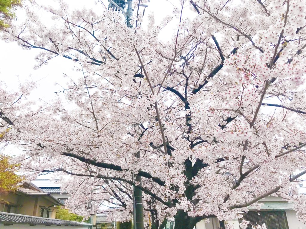 2019.04.10 彦根の桜