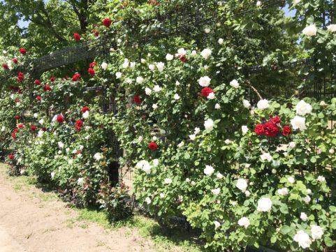庄堺公園の薔薇2019