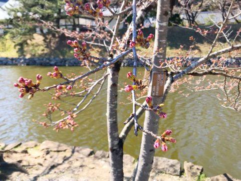 20200323の桜