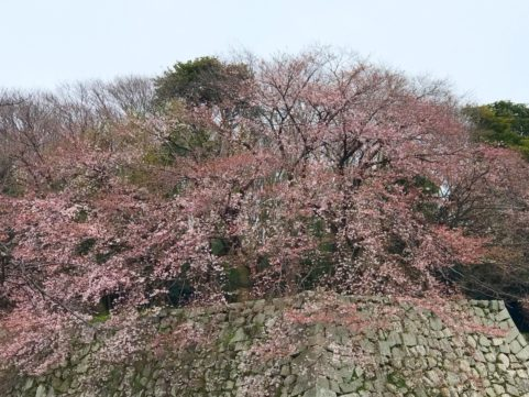 20200330の桜