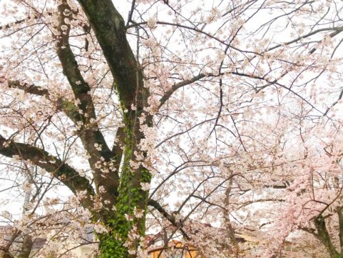 20200401の桜