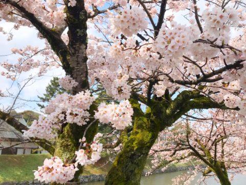 20200402の桜