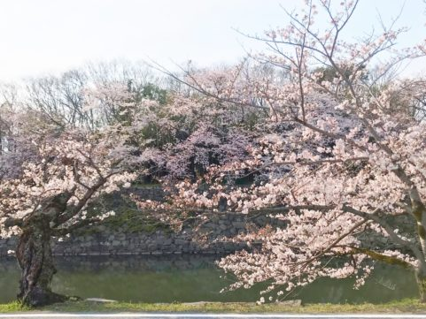 20200403の桜