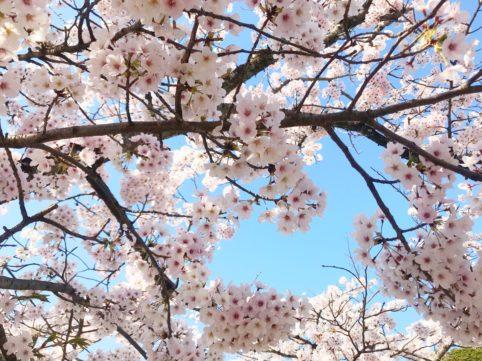 20200406の桜