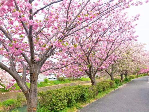 20200422の桜